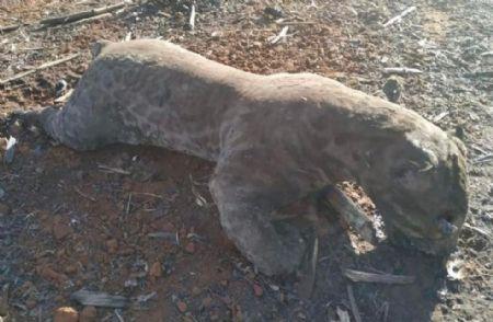 A ONG É o Bicho MT divulgou fotos dos animais queimados no incêndio (Crédito: Reprodução)